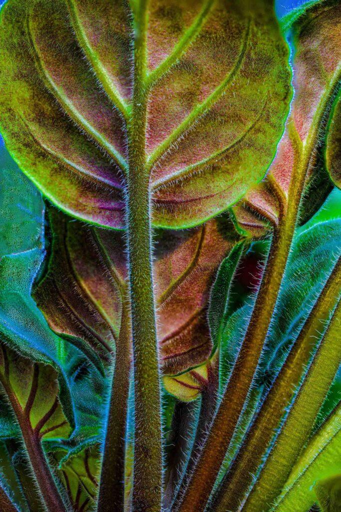 underneath of african violet leaves